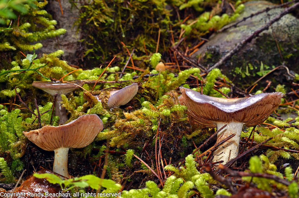 Mushrooms and moss in fall. Kootenai National Forest in the Purcell Mountains, northwest Montana.