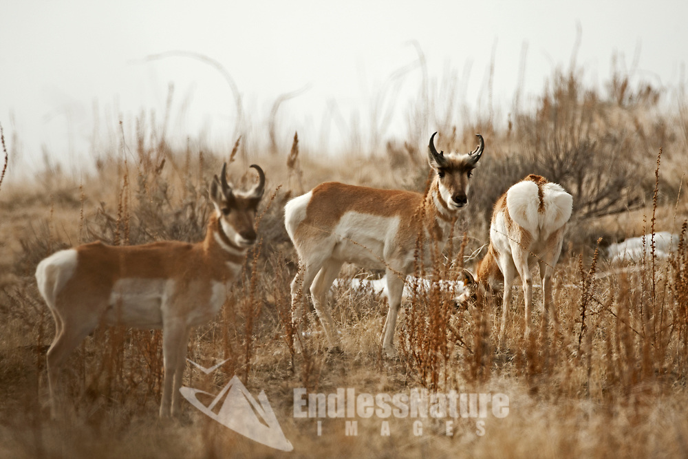 Pollution and inversions in the northern Utah valleys cast a foggy dull cloak to all people and animals like the Antelope.