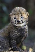 Cheetah<br /> Acinonyx jubatus<br /> 14 day old cub in nest<br /> Maasai Mara Reserve, Kenya