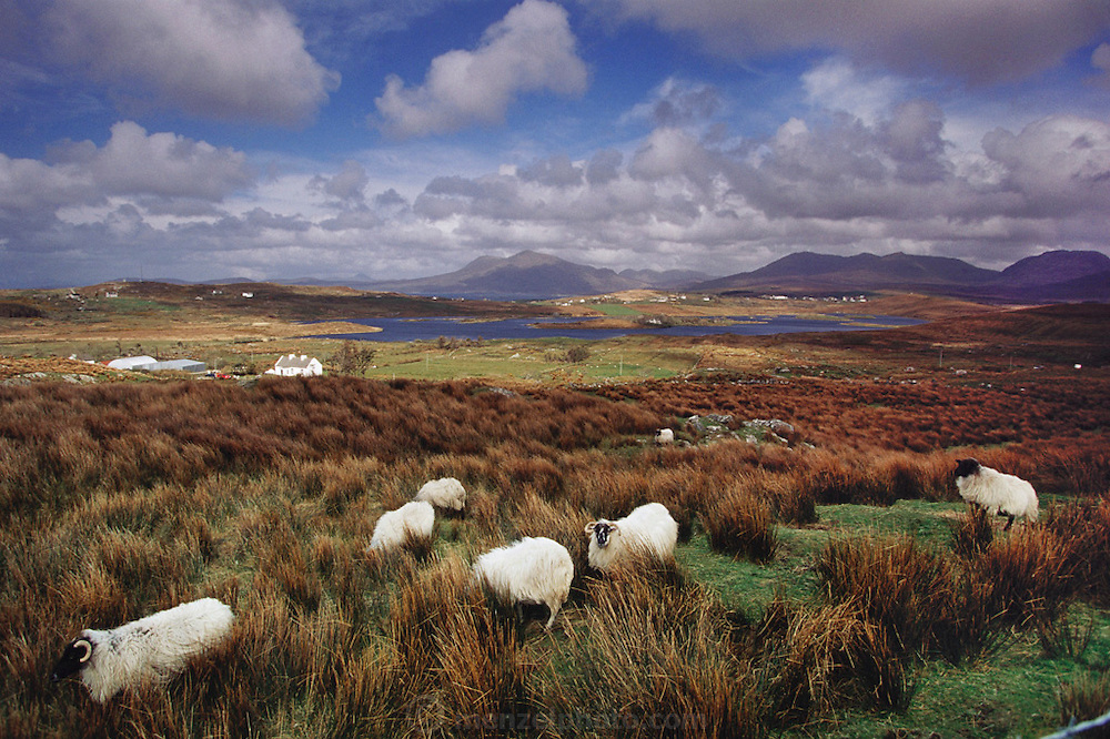 Black-faced sheep graze near Cleggan, West Ireland (Connemara).