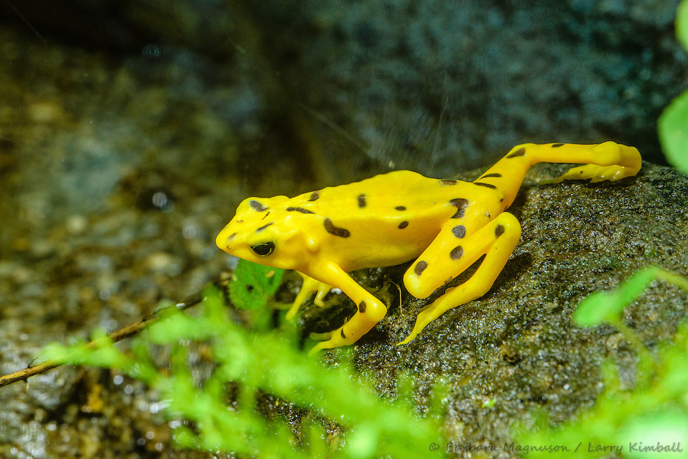 Panamanian Golden Frog [Atelopus zeteki], critically endangered frog;  El Valle Amphibian Conservation Center, El Valle, Panama