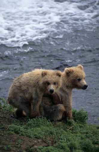 Alaskan brown bear (Ursus middendorffi) pair of cubs. Brooks River, Alaska
