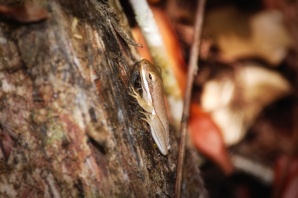 A squirrel treefrog (individuals can change their color from green to brown based on their environment) found among the cypress knees in the Fakahatchee Strand in SW Florida. These frogs are most active at night.
