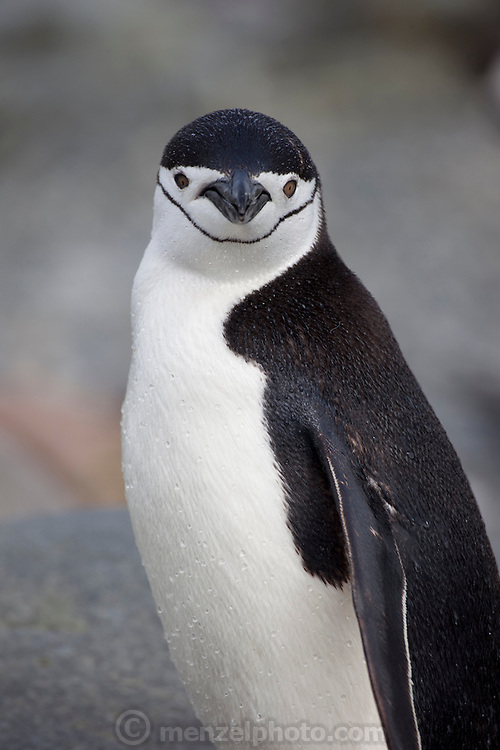 A single Chinstrap penguin living among Gentoos on Cuverville Island. Nesting pairs on the Gentoo penguin colony on the island tend their eggs and chicks. They have to be vigilant to ward off skua birds that try to eat the eggs and chicks.