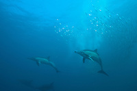 Common Dolphins Hunting Sardines<br /> <br /> shot in South Africa