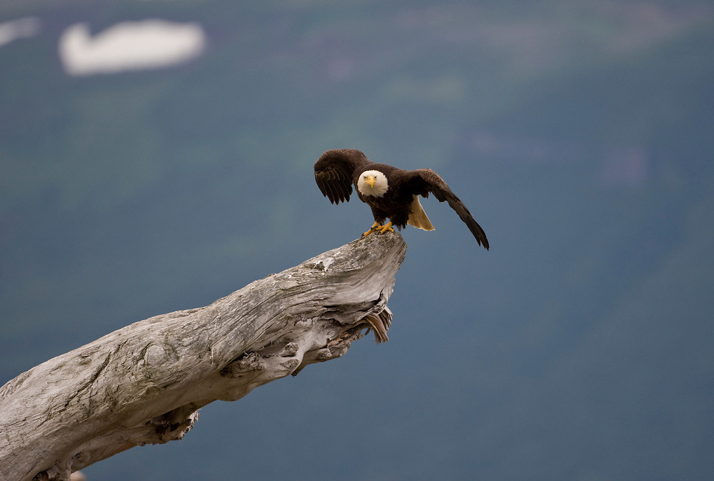 USA, Alaska, Katmai National Park, Bald Eagle (Haliaeetus leucocephalus) spreads wings before taking flight from log along Hallo Bay