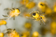 A newly hatched garden spider (Araneus diadematus) spiderling in a nest. Portland, Oregon.