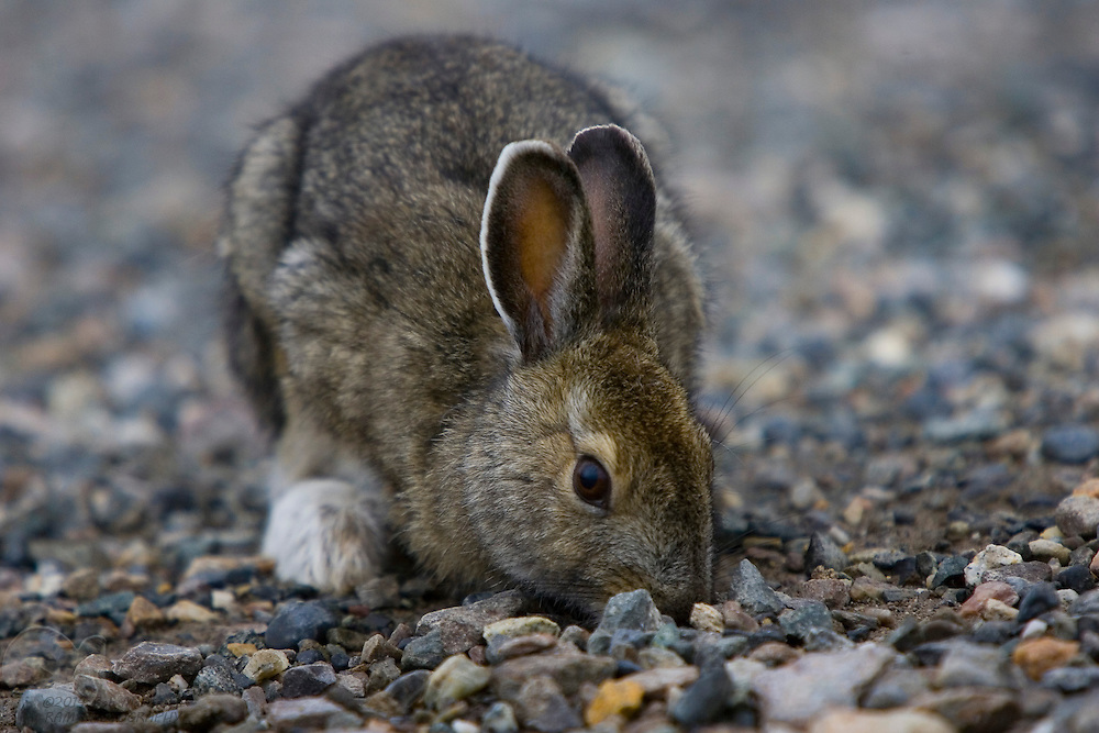 A wild, snowshoe hare forages in gravel for snacks in Denali National Park and Preserve.