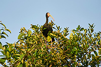 Bare-faced Ibis (Phimosus infuscatus), Araras Ecolodge,  Mato Grosso, Brazil (Photo: Peter Llewellyn)