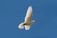 White Fan-tailed Pigeon - Columba livia
