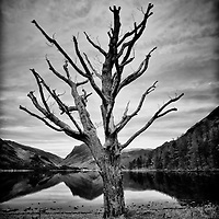 Dead tree beside lake in England with reflections
