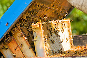 The hives are opened and then the frames, filled with honeycombs full of honey, are taken out.