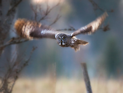Great Grey Owl in Finland