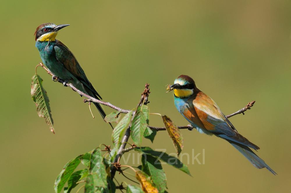 European bee eater pair (Merops apiaster) | Bienenfresser (Merops apiaster)