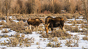 Female moose (cow) and calf in winter, Grand Teton National Park, Wyoming USA