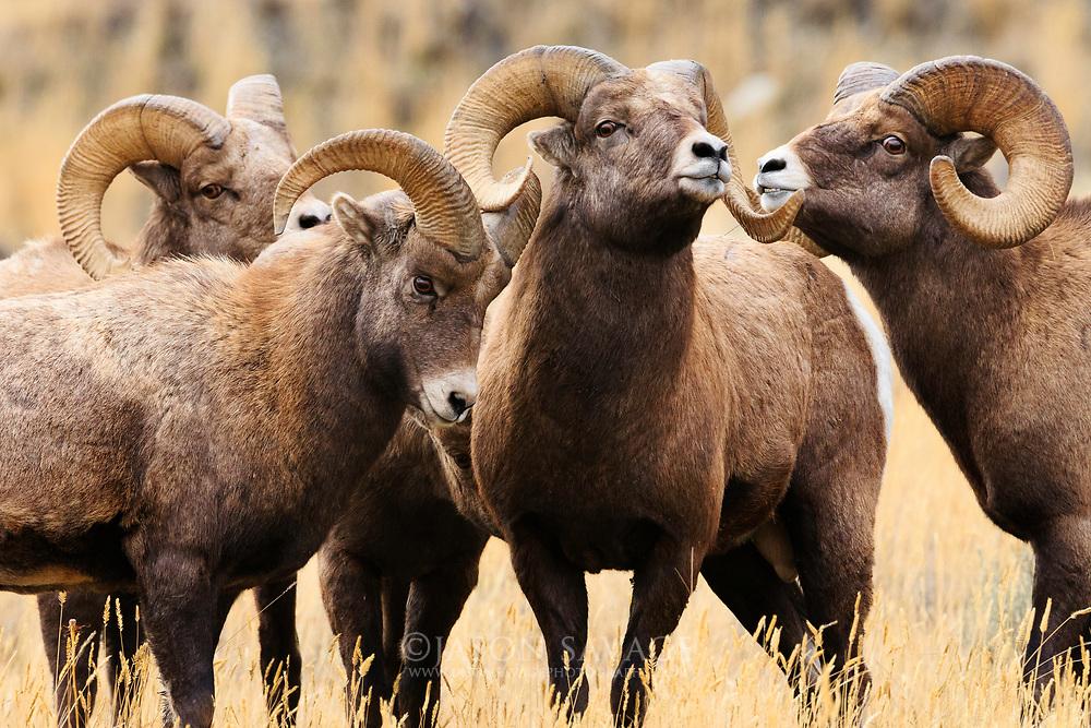 Rams gather near Gardiner, Montana.
