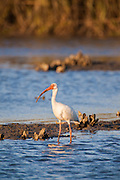 White Ibis wading in marsh