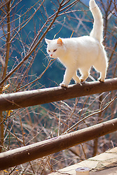 White Cat Walking on Wooden Fence