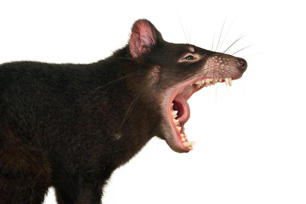 Tasmanian devil, Australian Reptile Park, Somersby, New South Wales, Australia