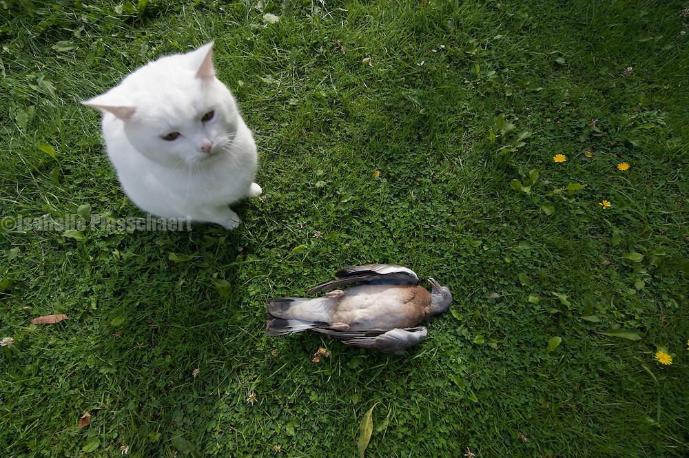 Dead pigeon in garden with cat