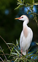 A cattle egret (Bubulcus ibis) looks out on the Gatorland alligator breeding marsh and bird sanctuary near Orlando, Florida. A buff coloration appears on the crown, back, and chest, with the bill and legs turning red during mating season.