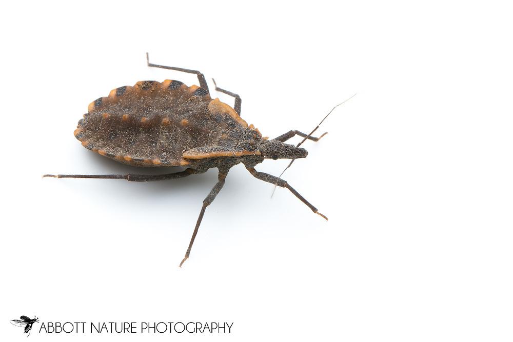Blood Sucking Conenose Assassin Bug (Triatoma sp.) nymph<br /> TEXAS: Travis Co.<br /> Austin<br /> 28-February-2012<br /> J.C. Abbott &amp; K.K. Abbott