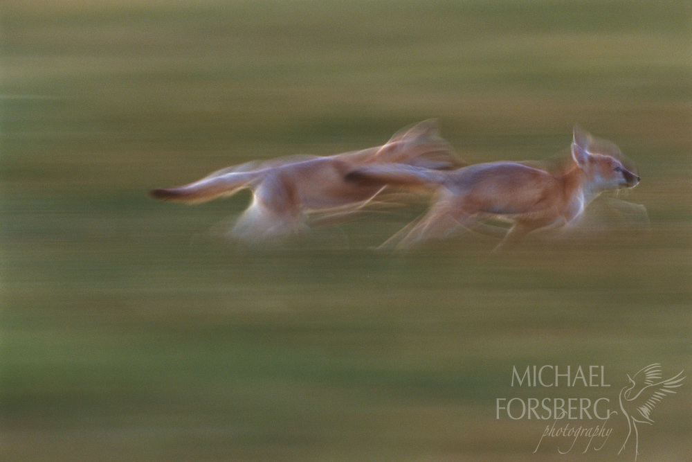 Swift Fox- Nebraska Panhandle.  Two swift fox pups play tag at twilight near their den site in the shortgrass prairie of the Nebraska panhandle. Plains Indians sometimes referred to Swift foxes as ghosts of the prairie. Their fleetness is second to no other canine on the continent and their ability to disappear and blend into the prairie grasses is amazing. Often they appear to disappear into thin air. Much smaller than the coyote and red fox, the swift fox is about the size of a house cat, and is almost feline in its movements. Their diminished numbers is a cause of great concern for conservationists and land managers as the prairie dog towns they often anchor to and rely on for food are severely altered or destroyed. Today, the swift fox is listed as endangered in several states and is a candidate for federal listing.