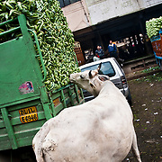 A cow eating cowliflowers off a loaded truck at Azadpur Mandi in north Delhi