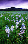 Camas flowers in wetland meadow. South of Weippe, north Idaho