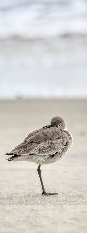 Willet resting on a outer banks beach.