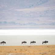 Wildebeest walk past the salt lake (Magadi Lake) at Ngorongoro Crater in the Ngorongoro Conservation Area, part of Tanzania's northern circuit of national parks and nature preserves.