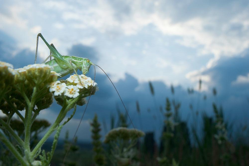 Female Leptophyes punctatissima, speckled bush-cricket, in Moldova near adurea Domnesca National Park