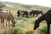 Horses belonging to, and liveried at, the President of Turkmenistan's Ahal Teke horse complex outside Ashgabat, grazing on grasslands