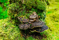 Mushroom, Bartlett Cove, Gustavus (entrance to Glacier Bay National Park), Inside Passage, Southeast Alaska USA.
