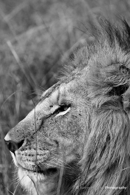 A close up profile of a lone male lion in the Masai Mara National Park, Kenya