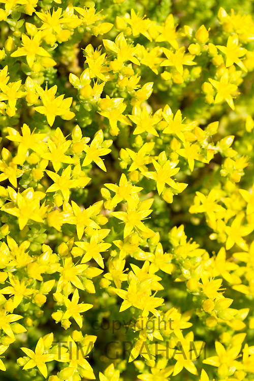 Yellow small summer-flowering wildflowers in bloom in summer in the UK