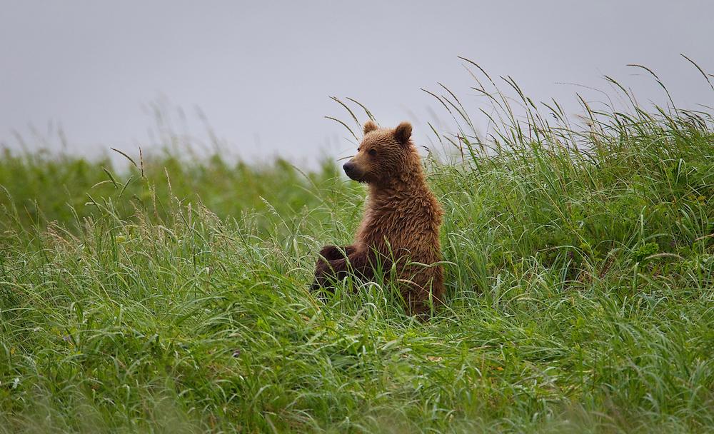 Alaska2010.-Brown Beers on the Kenai Peninsula.