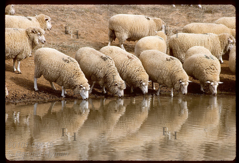 Sheep drink at water hole on a hot, dry summer day on a farm near Coolamon, New South Wales. Australia