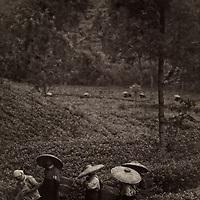 Tea plantation, Indonesia