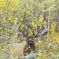 bull elk bugling from colorful fall aspen forest
