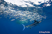 striped marlin, Kajikia audax (formerly Tetrapturus audax ), whacks sardines with bill while feeding on baitball of sardines or pilchards, Sardinops sagax, off Baja California, Mexico ( Eastern Pacific Ocean )