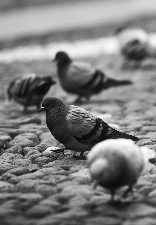 "Black and white photography of doves in Bologna Italy by Karl R Lilliendahl photographer.This photo is available as open edition and limited edition giclee print in four sizes. Click on ""Get Print"" to see more details."