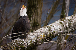 A bald eagle (Haliaeetus leucocephalus) sits on a fallen tree and calls in the Alaska Chilkat Bald Eagle Preserve along the Chilkat River near Haines, Alaska. During late fall, bald eagles congregate along the Chilkat River to feed on salmon. This gathering of bald eagles in the Alaska Chilkat Bald Eagle Preserve is believed to be one of the largest gatherings of bald eagles in the world.