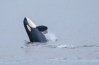 Killer whale breeching near Bella Bella on Campbell Island in British Columbia, Canada.