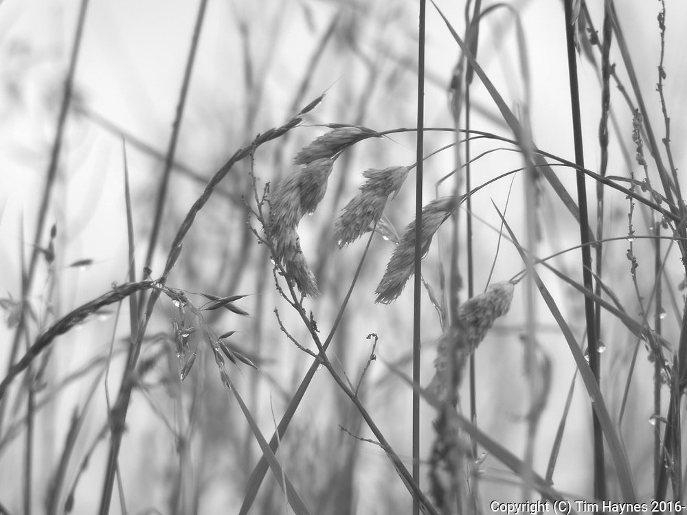 I'd been focussing the 75-300mm lens at infinity - so thought I'd bring it closer and see what happened. These simple blades of grass going to seed are the result.
