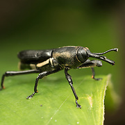 Dryophthorinae is a weevil subfamily within the family Curculionidae.