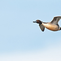 northern pintail drake single flying, above, overhead, blue sky