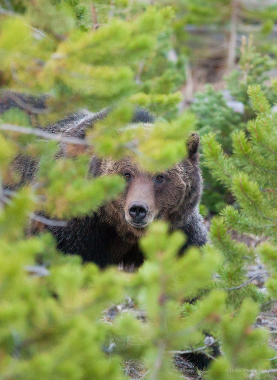 A young grizzly sow pauses in the trees, Yellowstone National Park.