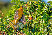 Female Baltimore Oriole - Icterus galbula reaching for food in a rosa ruguso