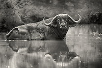 Cape buffalo bull cooling off in the Magadi river, Serengeti